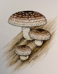 marie heerkens u0027 mushroom paintings and drawings