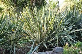 native plants to new zealand gardening 101 new zealand flax gardenista