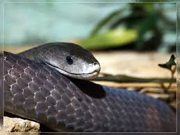 snakes in the world dangerous black mamba snake