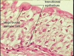 What Organelles Are Found In Epithelial Cells Stratepi