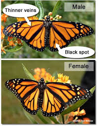 photo gallery from slideshow do you a monarch when you see one