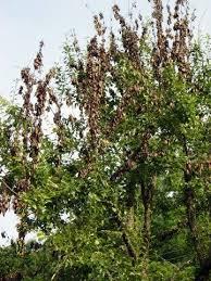 bradford pear blight walter reeves the gardener