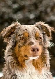 australian shepherd frisbee australian shepherd frisbee dog australian shepherds pinterest