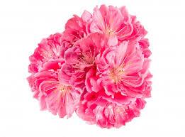 pink flower pink flower photo free