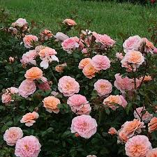 roses for sale apricot drift roses apricot drift roses for sale fast growing
