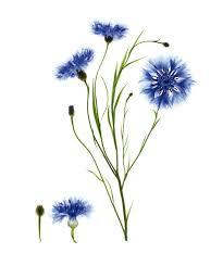 floral lotion eye make up remover w cornflower klorane info