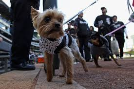 affenpinscher joe best in show 2013 affenpinscher wins at westminster dog show sb