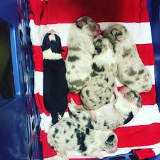 4 australian shepherd x dalmation australian shepherds champion bloodlines all puppies from this