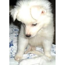 american eskimo dog breeders sugarpaws toy and mini aussies and eskies american eskimo dog