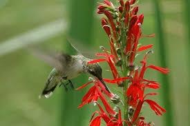 hummingbird flowers how to attract hummingbirds to your yard mnn nature network