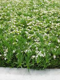gondwana wholesale native plant nursery australia mypa myoporum parvifolium u0027prostratum u0027 ground cover myoporum