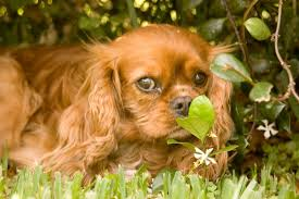 flycatcher u0027s syndrome and the cavalier king charles spaniel