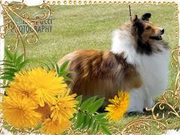 affenpinscher a vendre quebec sélection d u0027un chien ckc