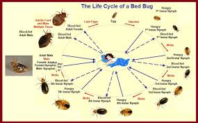 bed bug pictures on sheets bed bug pest