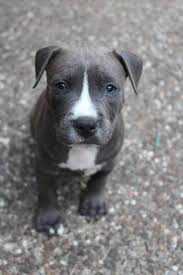 blue american pitbull terrier american staff fluffy and cute pinterest pit bull