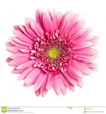 pink gerbera flower royalty free stock photos image 18091738
