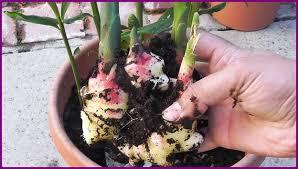 container gardening grow ginger in door video