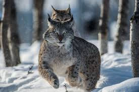 Grumpy Cat Snow Meme - cat big snow lynx cats wildlife predators animals winter wild nature