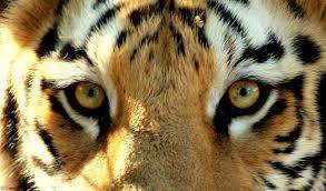 tiger can assure you tiger thats team bhp meet