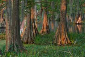 Louisiana forest images Beautiful cypress forest louisiana swamp1 jpg providence church jpg