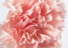 carnation wallpapers and backgrounds