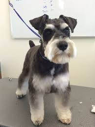 schnauzer hair cut step by step image result for miniature schnauzer grooming cuts dogs