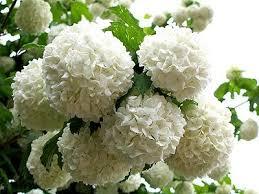 best 25 snowball plant ideas on white flowering
