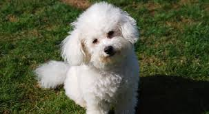 bichon frise good and bad improve your bichon frise u0027s skin u0026 coat with this one simple hack
