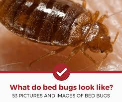 What Do A Bed Bug Look Like What Do Bed Bugs Look Like 53 Pictures Of Bed Bugs Pest Strategies
