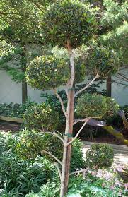 Azalea Topiary Grandiflora Wholesale Nursery Products