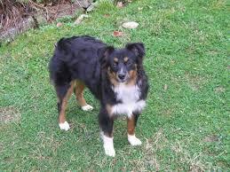 australian shepherd off leash accomplishments and testimonials of our toy and mini australian