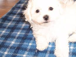 6 month old bichon frise for sale companionsfromheaven com bichon frise puppies for sale