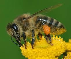 western honey bee wikipedia