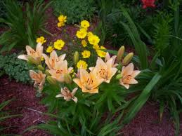 asian lilies how to grow asiatic lilies dengarden