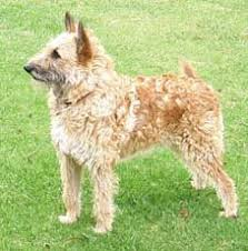 belgian sheepdog types laekenois dog photo belgian shepherd laekenois owned by miss
