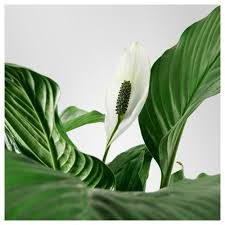 peace lily spathiphyllum potted plant peace lily 24 cm ikea