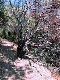 manzanita trees lanzendorfer i manzanita trees