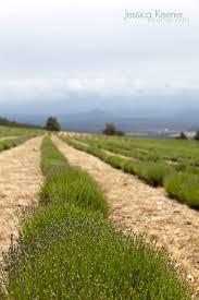 jessica keener photography mt shasta lavender farm u2022 montague