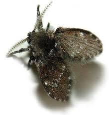 How To Get Rid Of Drain Flies Fast - Small flies around kitchen sink