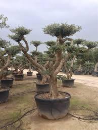 Pom Pom Trees European Pom Pom 500 Litres