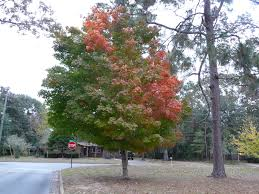 trees for fall color gardening in the panhandle