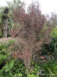 bog myrtle native flavours red t e r r a i n taranaki educational resource research analysis