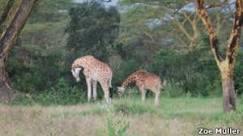 Girafa 'vela' filhote morto e levanta discussão sobre luto de animais