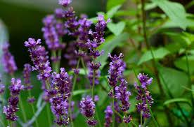 Fragrant Climbing Plant - types of fragrant climbing plants hgtv flower ideas