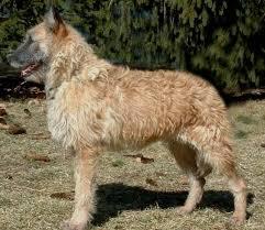belgian shepherd dog club of canada belgian shepherd lakenois