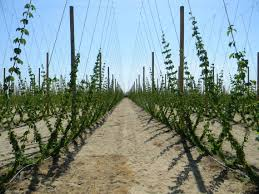fresno county grower gets into hop farming for beer the fresno bee