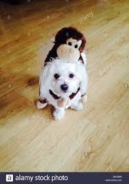 affenpinscher monkey dog monkey dog stock photos u0026 monkey dog stock images alamy