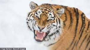 cat fight siberian tigers trade blows in spat mate