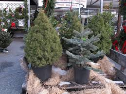 live christmas trees living christmas trees idea or bad henry homeyer