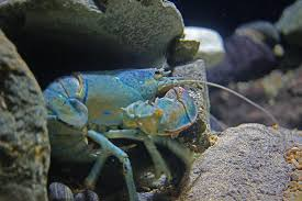 rare blue lobster on show for tropical seafest at resorts world